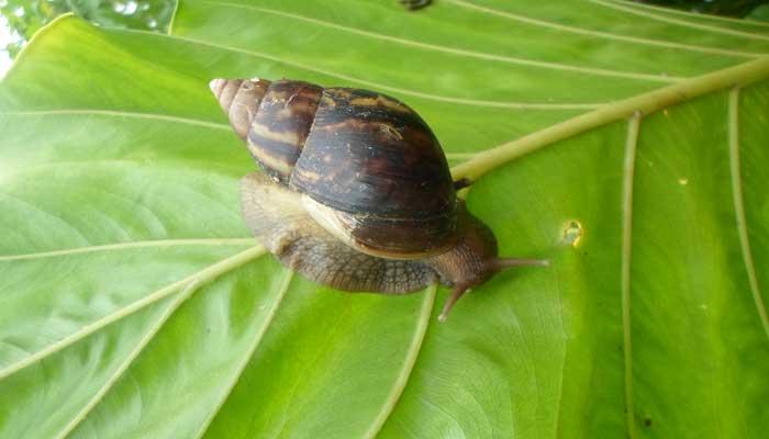 Garden snail Achatina